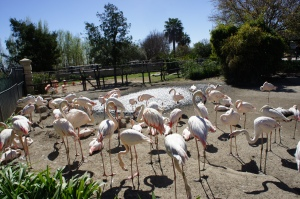 Монте-Казино, птичий сад, белые фламинго.